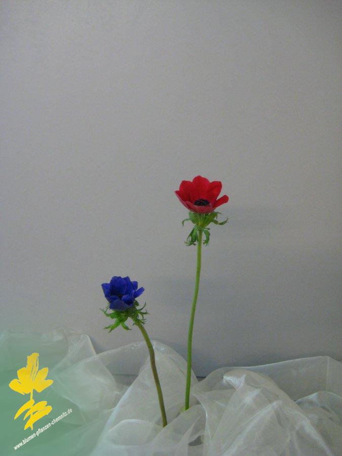Anemone - Ranunculaceae