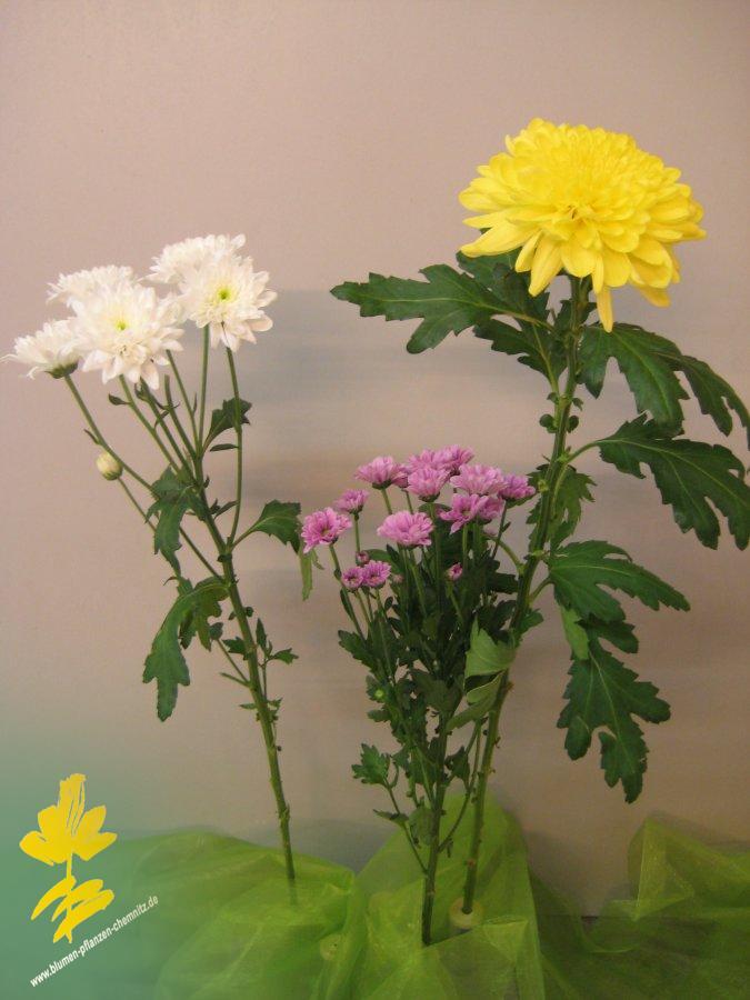 chrysantheme lateinisch chrysanthemum als schnittblume. Black Bedroom Furniture Sets. Home Design Ideas