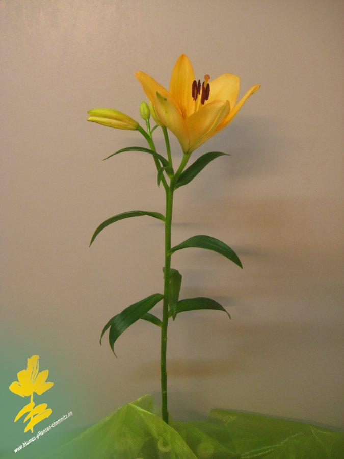 Lilie - Lilium
