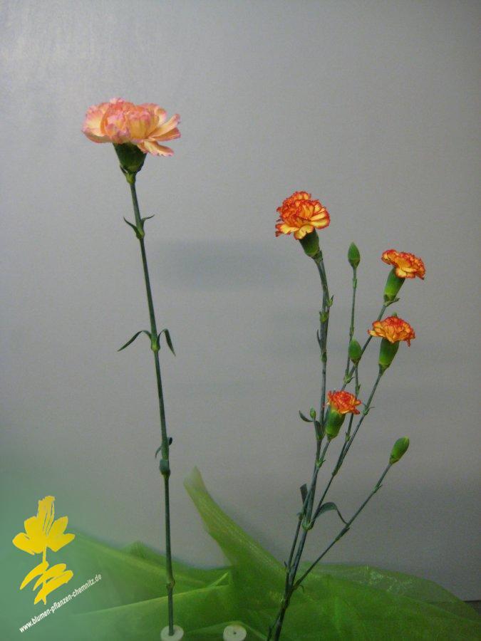 Nelke - Dianthus