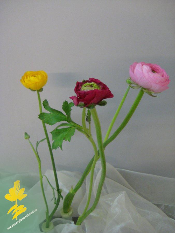 Ranunkel - Ranunculaceae