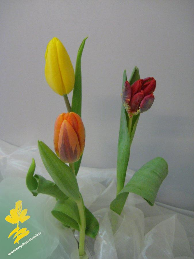 Tulpe - Tulipa